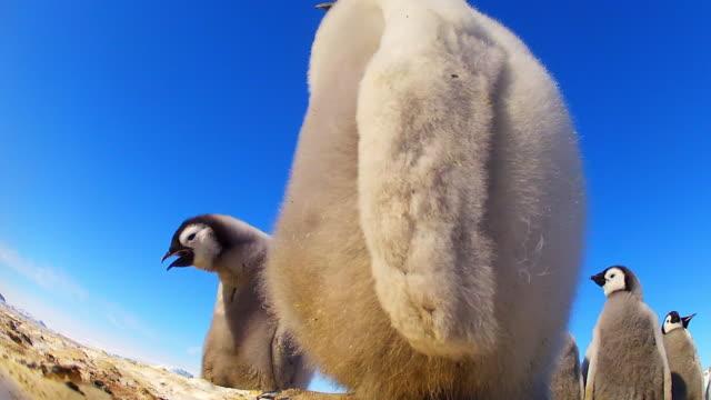 CU LA Emperor penguin chicks in sunlight peering into camera / Dumont D'Urville Station, Adelie Land, Antarctica