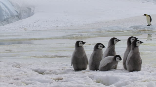 MS Emperor Penguin Chicks tripping stumbling over snow / Antarctica