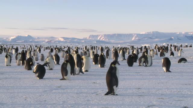 Emperor penguin (Aptenodytes forsteri) colony, Cape Washington, Antarctica