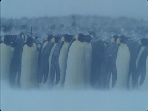 Emperor penguin colony huddles against a blizzard in Antarctica.