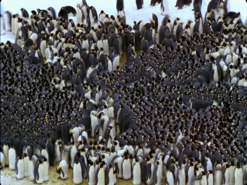 Emperor penguin colony huddles together in Antarctica.