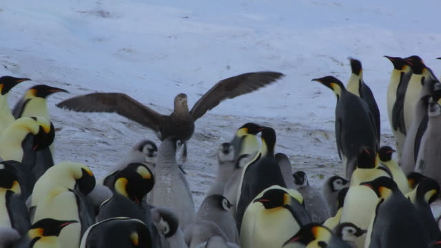 CU Emperor penguin colony with Giant petrel threatening the penguins with wings outstretched