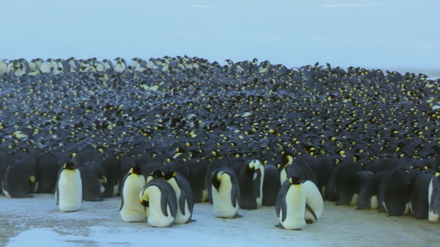 'MS PAN Emperor penguin massed huddle with penguins moving around in light blizzard / Dumont D Urville Station, Adelie Land, Antarctica '