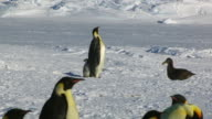 WS Emperor penguin protects its chick from the threat of a Giant petrel