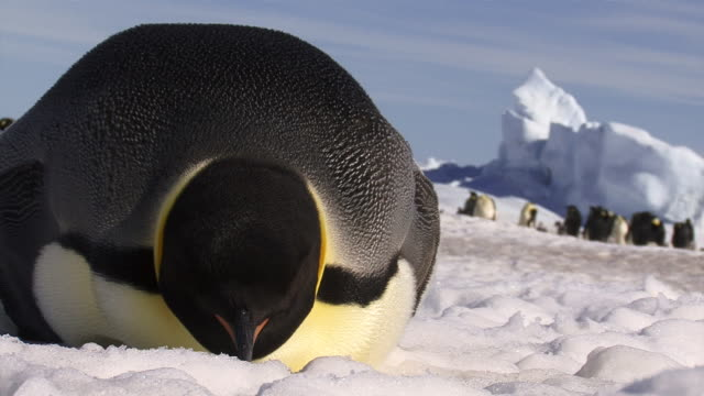 Emperor Penguin Resting on Ice