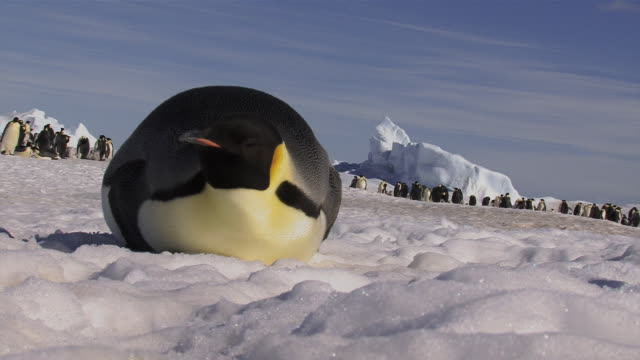 Emperor Penguin Resting on Ice