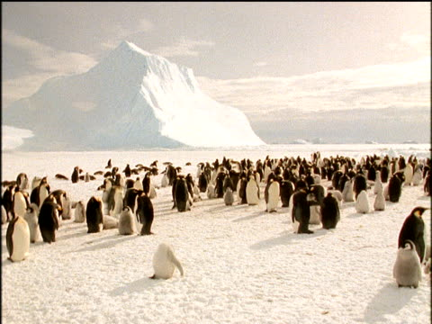 Emperor penguin rookery, adults and chicks move around freely, stunning ice mountain in background