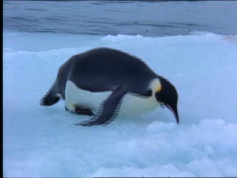 Emperor penguin sliding across ice on stomach / Antarctica