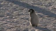 Emperor penguin (Aptenodytes forsteri), small chick looks around, Cape Washington, Antarctica