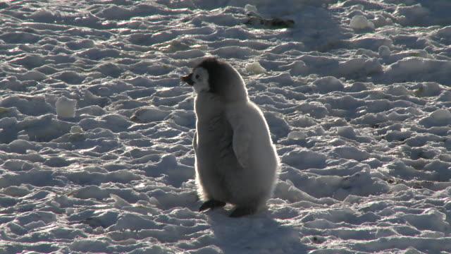 Emperor penguin (Aptenodytes forsteri), small chick walks on ice, Cape Washington, Antarctica