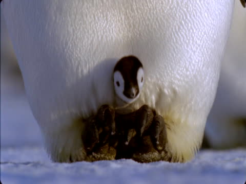Emperor penguin warms its chick on its feet.