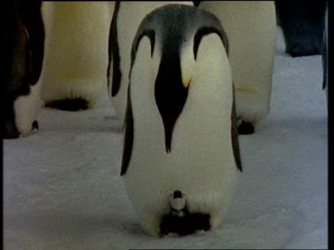 MCU Emperor Penguin with chick on feet, regurgitates food for chick, Antarctic