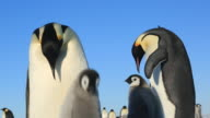 Emperor penguins (Aptenodytes fosteri) 2 pairs at colony. Chick begs while adults display