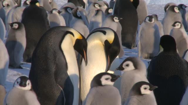 Emperor penguins (Aptenodytes forsteri), adult pair display at colony, Cape Washington, Antarctica