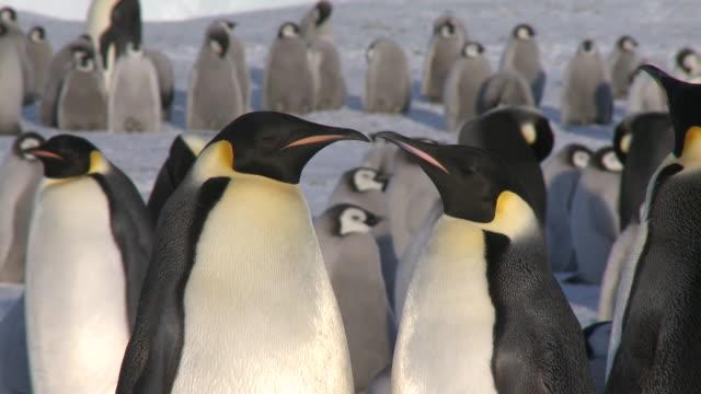 Emperor penguins (Aptenodytes forsteri), adults display at colony, Cape Washington, Antarctica