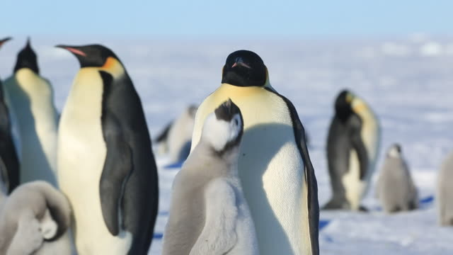 Emperor penguins (Aptenodytes fosteri) at colony, chick begs from adult