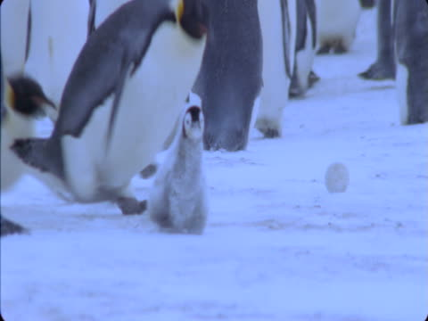 Emperor penguins chase and mob a chick.
