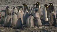 Emperor penguins (Aptenodytes forsteri), chicks and adults at colony in creche, Cape Washington, Antarctica