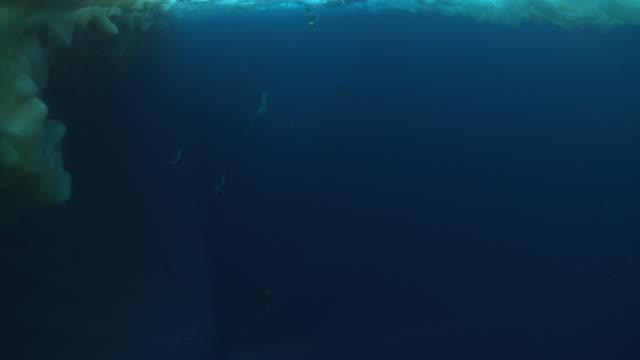 Emperor penguins (Aptenodytes forsteri) dive under hole in sea ice, underwater, Cape Washington, Antarctica