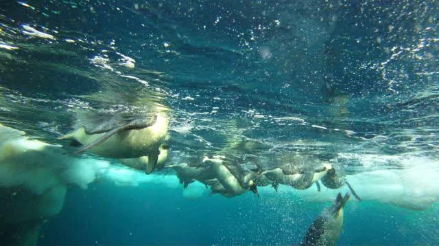 Emperor penguins (Aptenodytes forsteri) diving at ice hole, underwater, Cape Washington, Antarctica