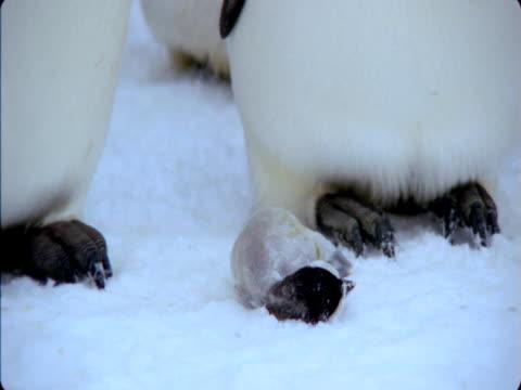 Emperor penguins examine a dead chick.