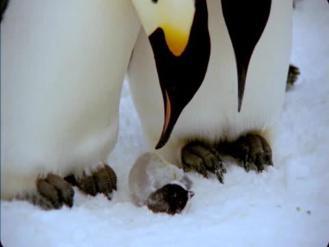 Emperor penguins examine dead chick.