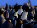 Emperor penguins gather together in a colony in Antarctica.