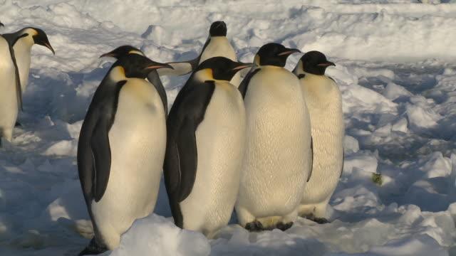 Emperor penguins (Aptenodytes forsteri) group portrait at edge of sea ice, Cape Washington, Antarctica