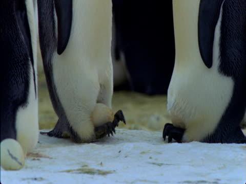 Emperor Penguins incubate eggs on their feet in Antarctica.