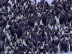 Emperor penguins jostle in colony in Antarctica.