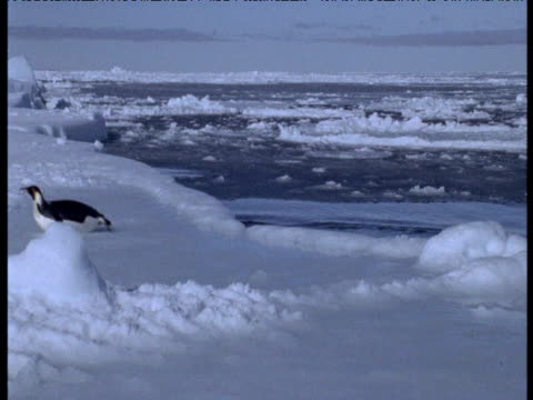 Emperor penguins leap from water onto ice, pan left to large group of penguins, Terra Nova Bay, Antarctica