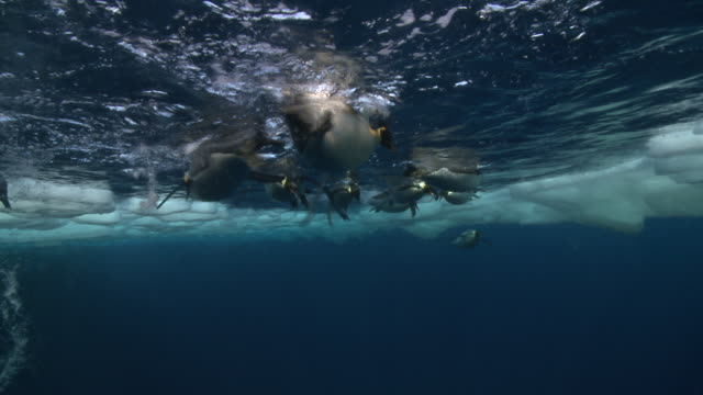 Emperor penguins (Aptenodytes forsteri) swimming at surface and diving under ice, underwater, Cape Washington, Antarctica