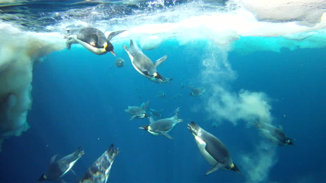 Emperor penguins (Aptenodytes forsteri) swimming at surface and diving, underwater, Cape Washington, Antarctica