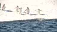 Emperor Penguins waddle off a snowy ledge into a channel of rippling water. Available in HD.