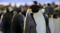 Emperor penguins waddle past their colony.