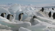 Emperor penguins (Aptenodytes forsteri) waddling and sliding across ice, Cape Washington, Antarctica
