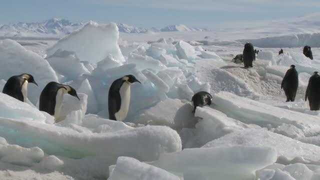 Emperor penguins (Aptenodytes forsteri) waddling and sliding across ice, Cape Washington, Antarctica