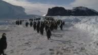 Emperor penguins (Aptenodytes forsteri) waddling and sliding across ice toward colony, Cape Washington, Antarctica
