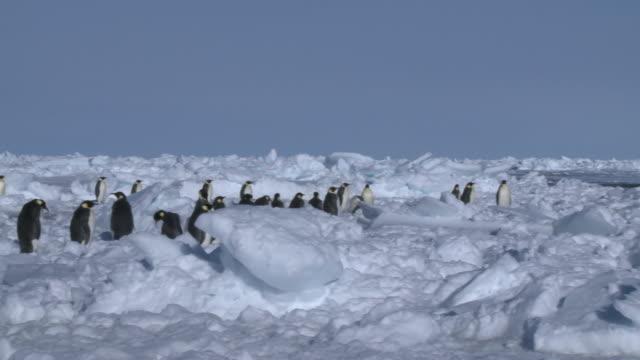 Emperor penguins (Aptenodytes forsteri) waiting at edge of sea ice, Cape Washington, Antarctica