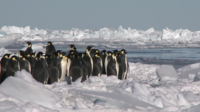 Emperor penguins (Aptenodytes forsteri) waiting in group on ice to enter hole in sea ice, Cape Washington, Antarctica