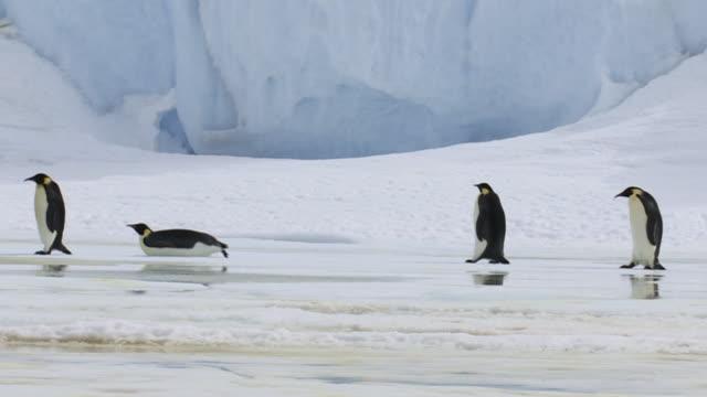 Emperor Penguins walking past iceberg