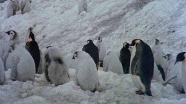 MS, Emperor penguins with chicks on snow, Antarctica