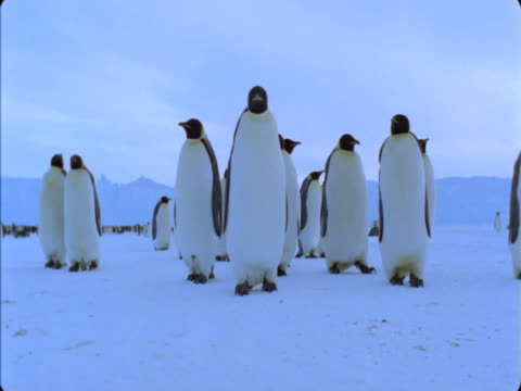 Emperor-penguins waddle across a snowfield.