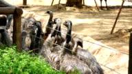 emu in the zoo