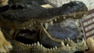 En el Aeropuerto Internacional de Miami un grupo de inspectores esta librando una batalla contra el comercio ilegal de animales y productos silvestres