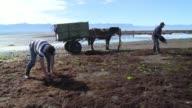 En la palaya de Coihuin al sur de Chile campesinos locales han cosechado el pelillo por decadas