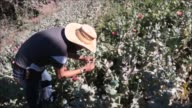 En lo profundo de las montanas de Guerrero varias familias viven del cultivo de amapola flor que aporta la materia prima de la heroina una lucrativa...