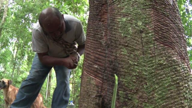 En plena selva amazonica el brasileno Raimundo Pereira talla un arbol de caucho para recoger su savia blanca que vendera a la unica fabrica en el...