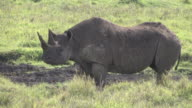 Endangered Black Rhino on Safari in Africa