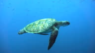 Endangered Species Green Sea Turtle (Chelonia mydas) swimming.